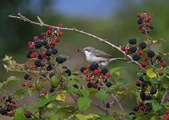 Lesser Whitethroat (dcweather) Tags: nikon nikond500 birds wildlife sigma 150600mm