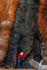 Kimberly Shoemaker (Thomas Hawk) Tags: america california kimberlyshoemaker mariposagrove nationalpark newyearseve newyearseve2011 sequoia usa unitedstates unitedstatesofamerica yosemite yosemitenationalpark giantsequoias sequoiagrove sequoias tree fav10 fav25