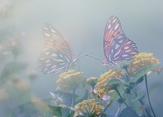 As Another Summer Fades Away (Charles Opper) Tags: agraulisvanillae canon georgia gulffritillary heliconiinae lantana nymphalidae passionbutterfly summer butterfly color doubleexposure dreamy flowers fritillary grass insect light warmth