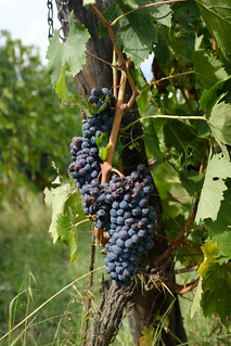 Grape bunch ready to be harvested