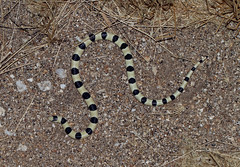 Colorado Desert Shovel-nosed Snake (Chionactis occipitalis annulata) (cowyeow) Tags: anzaborrego desert statepark anzaborregodesert borrego california usa nature american america wildlife herp herping herpetology reptile snake snakes coloradodesert shovelnosed chionactisoccipitalisannulata chionactisoccipitalis chionactis occipitalis annulata shovelnose bicolor banded small macro