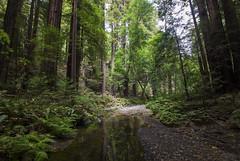Redwood paradise [II] (Olivier So) Tags: usa california marincounty muirwoods goldengatenationalrecreationarea woods redwoods tree nature bayarea sequoia