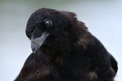 20180908 One-eye, the crow (Robert Harwood) Tags: crow cataract oakbay victoria vancouverisland britishcolumbia canada portrait