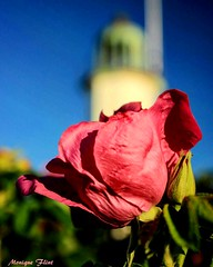 Beach Rose (moniquef123) Tags: rose flower pink blue green sky lighthouse macro floral petals summer goldenhour