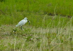 LITTLE EGRET (tony.cox27) Tags: little egret perch