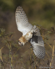 Going In (pandatub) Tags: ebparks ebparksok bird birds owl barnowl hrs haywardregionalshoreline