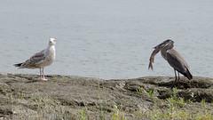 Goéland désire le poisson du Grand héron, Great Blue Heron, Canada - 6947 (rivai56) Tags: québec canada ca grandhéronetsonpoisson greatblueheron heron greatblue goéland désire le poisson du grand héron