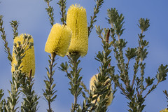 Banksia flowers (Malcom Lang) Tags: banksia serrata oldmanbanksia green yellow blue sky stem branch flower australia australian aussie native bush