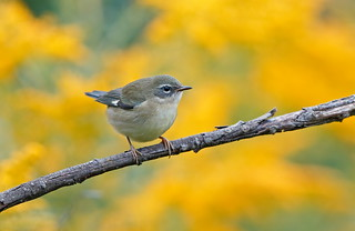 Black-throated Blue warbler female