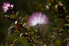 Blom (roanfourie) Tags: 70300mmafpdx flower flowers plant plants light day outdoors pink green bokeh photography nikon d3400 nikkor 70300mm ed dx afp vr f63 dslr raw gimp flickr southafrica africa westrand randfontein september142018 september 2018 spring