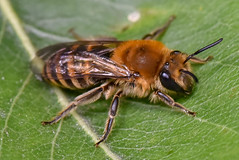 L'abeille du Lierre - The ivy bee - Colletes hederae (A_Decostre) Tags: