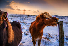 Icelandic Horses (yan08865) Tags: horse animal iceland winter travel nature breed pavlis snow fields landscapes earth icelandic earthy natural traveler portrait sky