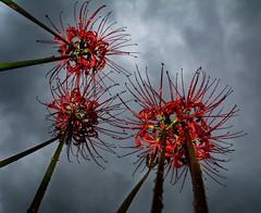 #258 Red Spider Lilies (tokyobogue) Tags: tokyo japan ukimafunado nikon nikond7100 d7100 sigma sigma1750mmexdcoshsm redspiderlily flowers red plants sky clouds dark pov flickrfriday 365project lycorisradiata