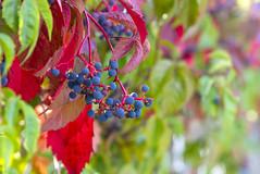 Virginia Creeper (s.d.sea) Tags: grapes wild vine grow summer fall seasons lwtech kirkland horticulture washington washingtonstate pnw pacificnorthwest pentax k5iis macro 2470mm berries grape bokeh leaves foliage