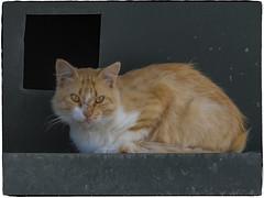 CICATRICES (BLAMANTI) Tags: gatos felinos heridas cicatrices batallas canon canonpowershotsx60 blamanti solitario triste supervivencia