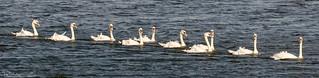 Flotilla Of Mute Swans