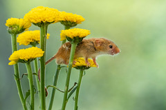 The king of flowers (Valentin Laurentziu) Tags: nature outdoor wildlife mice harvest yellow flowers dean mason