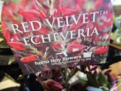 Red Velvet Echeveria (sign)