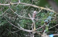 a barn owl through the branches (ewjz31) Tags: autumn woodland northeastofengland uk tytoalba owl