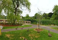The geese are still adding nutrients to the soil (Trinimusic2008 -blessings) Tags: trinimusic2008 judymeikle nature vaughn geese bridge ontario canada water park trees sky summer august 2018 oakbankpond thornhill oakbankpondpark gta greatertorontoarea sonydschx80