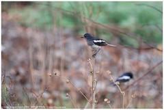Oriental Magpie-Robin (दहियर, काली सुई चिड़िया) - Copsychus saularis (jhureley1977) Tags: orientalmagpierobin दहियर कालीसुईचिड़िया copsychussaularis birds birding birdsofindia indiabirds ashutoshjhureley ashutosh ashjhureley avibase naturesvoice bbcspringwatch rspbbirders rspb jabalpur jabalpurbirds