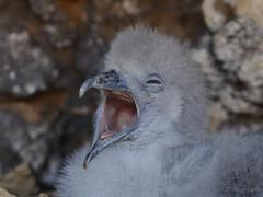 Where's my fish?!! (SharifUddin59) Tags: ardennapacifica wedgetailedshearwater shearwater chick shearwaterchick burrow kaenapoint kaenapointnar oahu hawaii seabird babybird bird nest