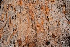 Wood texture (IMG_8980) (Piyushgiri Revagar) Tags: background wood wooden texture natural skin pattern material surface old nature tree rough brown abstract closeup bark textured trunk detail timber organic forest vintage plank plant grain design pine macro weathered dry park environment line nobody board wall outdoor protection wallpaper history firewood table hard white aging backdrop structure seamless piyushgiri revagar kruti akruti 22