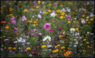 I am a wild flower !