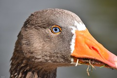 Goose close-up! (Nina_Ali) Tags: abbeypark leicester bird feathers beak 7dwf waterfowl goose