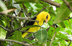 Indian golden oriole (Birdwatcher18) Tags: indiangoldenoriole birds birding birder birdwatching birdwatcher nature yellowbird songbird
