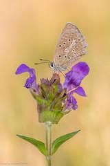 Zahnflügel-Bläuling (AnBind) Tags: polyommatusdaphnis lycaenidae bläuling tagfalter 2018 meleagersblue makro technik zahnflügelbläuling blues