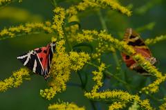 Spaanse vlag (Euplagia quadripunctaria) (Frank Berbers) Tags: spaansevlag euplagiaquadripunctaria dagactievenachtvlinder spinneruilen vlinder schmetterling nachtvlinder nachtfalter falter lepidoptera erebidae russischebär spanischeflagge bärenspinner jerseytiger dayflyingmoth moth mot écaillechinée callimorphe papillon butterfly nikond5100 tsjechië vakantie2018 2018 insect insecta macro