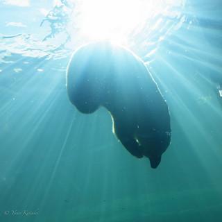 Polar bear in the water / 水中ホッキョクグマ