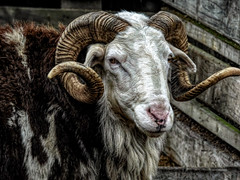 Textured Horns (Steve Taylor (Photography)) Tags: ram awassisheep horns curly spiral hdr animal sheep contrast newzealand nz southisland canterbury christchurch texture wool