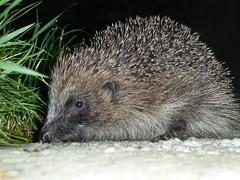 Hedgehog (3) (mikerichardson3) Tags: hedgehog animal westwales wildlife carmarthenshire pencader llaingyfre