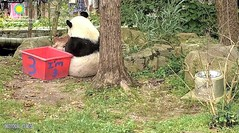 2018_08-22zzb (gkoo19681) Tags: beibei chubbycubby fuzzywuzzy adorableears 3rdbirthday celebrating icecake presents squaretubby sugarcane apples nanner pulling fullbelly beingadorable comfy justbecausehecan posing sohandsome perfection sillygoober meltinghearts precious sohappy onapedestal toocute amazing toofunny birthdaywish ccncby nationalzoo