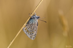 Pearly Blue (Thijs de Bruin) Tags: blue blauw icarusblauwtje commonblue grass brown droplets druppels drops dreamy