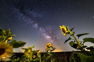 Girasoles bajo la Vía Láctea
