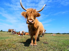 Highland cow (paule_78) Tags: highlandcow highland cow field grass sky canadacommon newforest horns cows lookingdown clouds nature wildlife agricultural animal livestock landscape bluesky