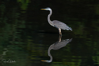Great Blue Heron - Ardea herodias | 2018 - 2