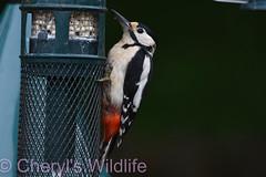 Great Spotted Woodpecker (Cheryl's Wildlife) Tags: wildlife nature dorset rspb birds 2018 birdwatching nikon sigma photography southcoast arne poole portland weymouth naturereserve pooleharbour