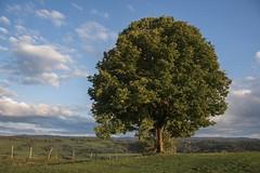 Le bel arbre -*--- ° (Titole) Tags: tree sky clouds titole nicolefaton tilleul doye arbredelannée2011 unesco perpetualchallenge