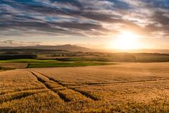 You'll Remember Me (ianrwmccracken) Tags: sunshine d750 landscape sunsset crop tracks evening nikkor2470mmf28 countryside fife barley cloud golden sky farm nikon lomondhills contrejour field scotland sunset plant barleyg lomond