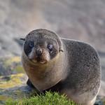 NZ Fur Seal pup thumbnail