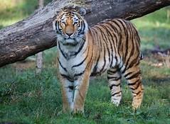 Tiger (Hugo von Schreck) Tags: tiger cat katze hugovonschreck canoneos5dsr fantasticnature ngc tamronsp150600mmf563divcusda011