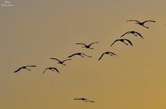 Siluet flamingos (Peideluo) Tags: silueta siluetas contraluz nikon nature sky birds flamingos amanecer sunrise colors fly d800 cielo pájaro