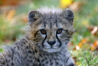 Wingham Wildlife Park: Cheetah cub