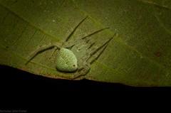 'Araneus' circulissparsus (dustaway) Tags: arthropoda arachnida araneae araneomorphae araneidae araneinae araneuscirculissparsus orbweaver australianspiders australianwildlife wilsonnaturereserve lismore northernrivers nature nsw australia