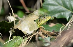 Western Green Lizard (Lacerta bilineata) and sunshade - 1 of 2 (willjatkins) Tags: wildlife nature animal reptiles reptile lizard lizards westerngreenlizard greenlizard lacerta lacertabilineata europeanwildlife europeanreptiles europeanlizards britishwildlife britishamphibiansandreptiles britishreptilesandamphibians britishreptiles britishlizards nonnativespecies nonnativewildlife nonnativereptiles ukwildlife ukreptilesandamphibians ukamphibiansandreptiles ukreptiles uklizards dorsetwildlife dorsetreptiles dorsetlizards macro macrowildlife closeupwildlife closeup nikond610 nikon sigma105mm