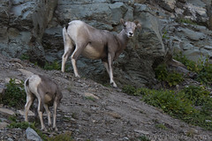 "Bighorn Sheep • <a style=""font-size:0.8em;"" href=""http://www.flickr.com/photos/63501323@N07/44627743491/"" target=""_blank"">View on Flickr</a>"